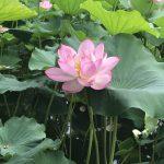 三渓園のイベント「早朝観蓮会」でハスとスイレンを、横浜美術館ではモネの睡蓮を見てきました。